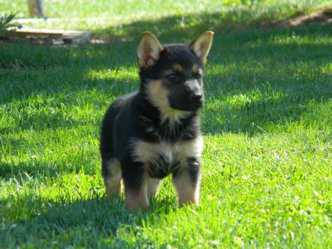 Germen Shepherd Puppies