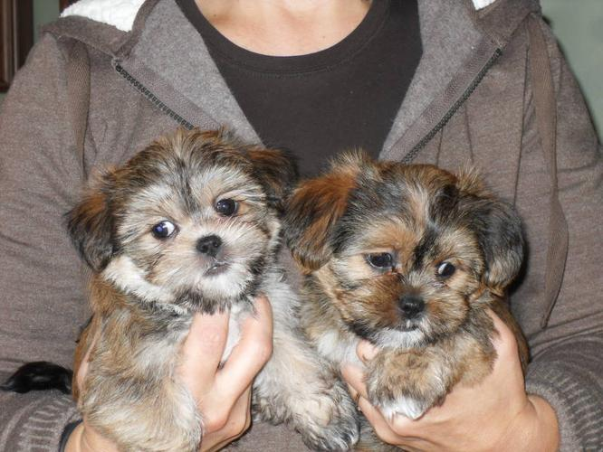 ... , Yorkshire Terrier and Shih Tzu mix in Port Perry, OntarioFor Sale